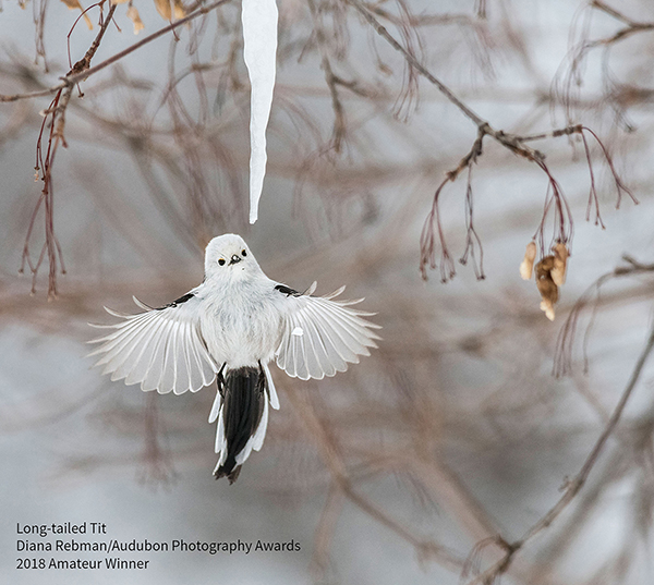 2018 Winners - Amateur Winner Long-tailed-Tit by Diane Rebman