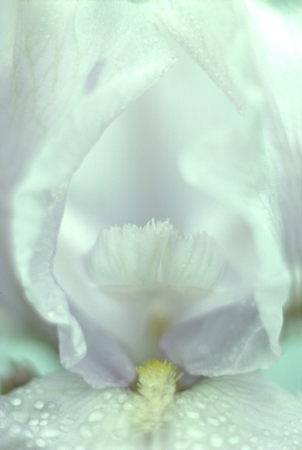 """Iris"" by Jan Kepley"