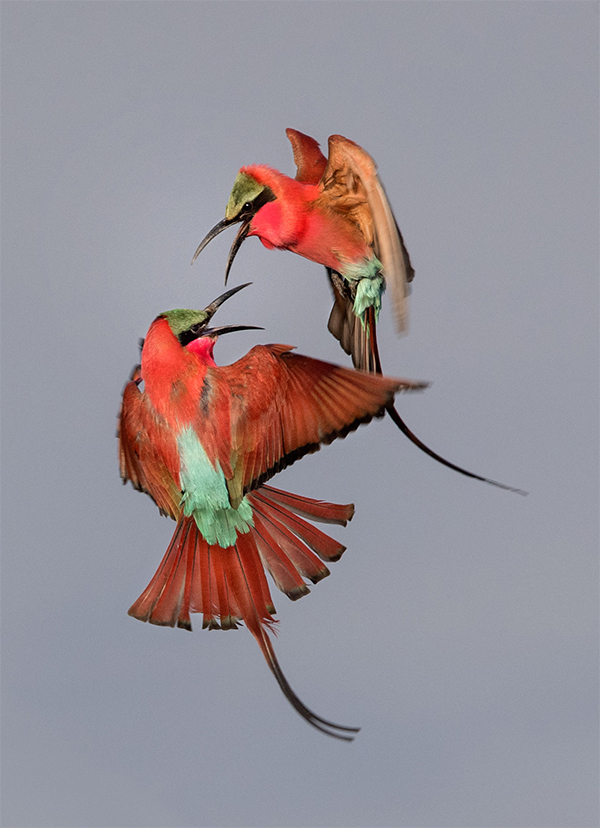 """Southern Carmine Bee-eaters"" by Zachary Webster Youth Audubon Photography Award"