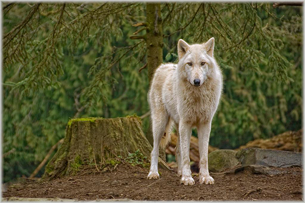 """Wolf"" by Barbara Lippert"